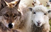 sheep lambs pure wolf wild nature