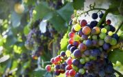 grapes vine fruit plant grape