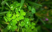 클로버 행운 행복 네잎 세잎 식물 녹색 이슬 생기