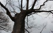 고목나무 나무 겨울나무 앙상 낙엽