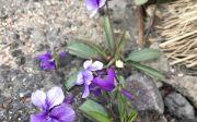 제비꽃 이혜리