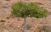 무화과나무 트리 나무 열매 저주 예수님 성경